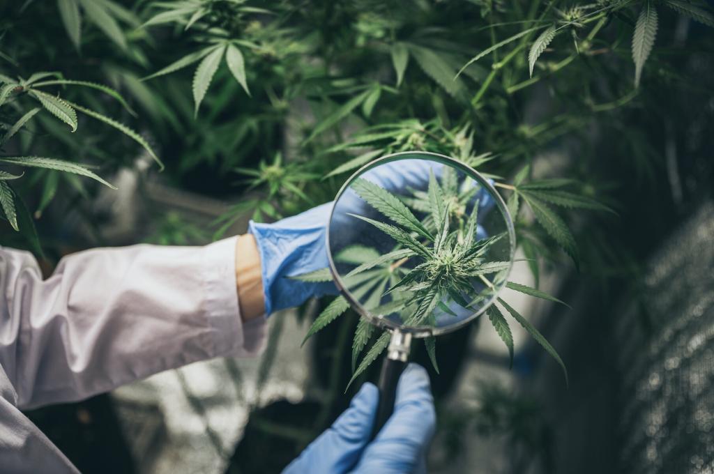 Der Anbau von Cannabis ist erlaubt, solange der Hanf vor der Blüte geerntet wird! © Chokniti Khongchum / shutterstock.com